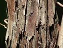 [photo of shaggy bark]