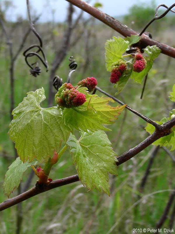 Vitis Riparia Riverbank Grape Minnesota Wildflowers
