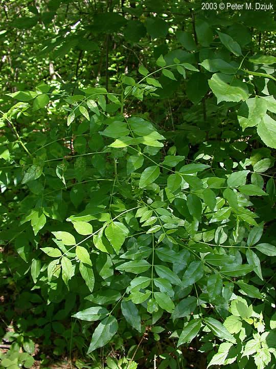 Zanthoxylum Americanum  Prickly Ash   Minnesota Wildflowers