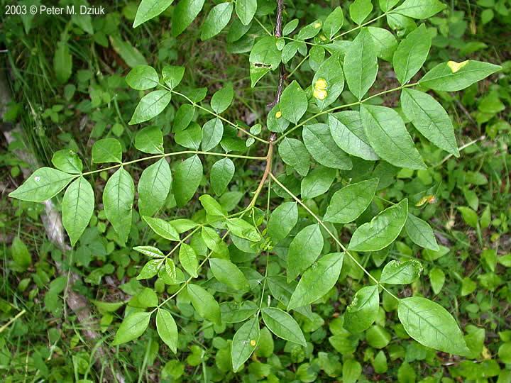 removing thorny bushes