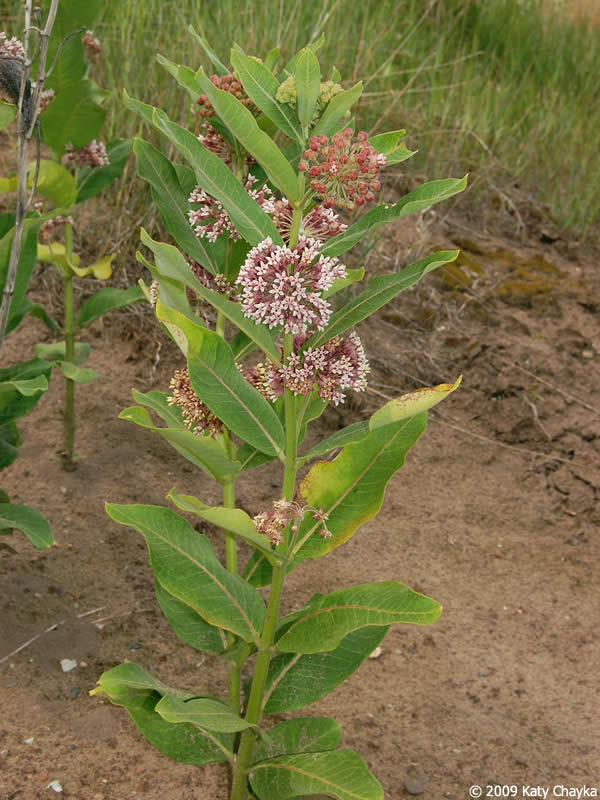 Common milkweed plant - photo#22