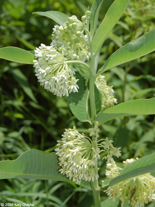 Common milkweed plant - photo#9