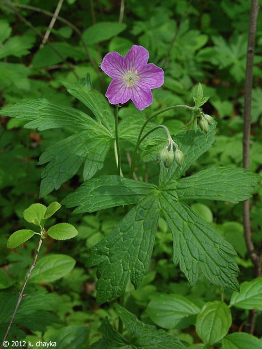 Geranium Maculatum Wild Geranium Minnesota Wildflowers