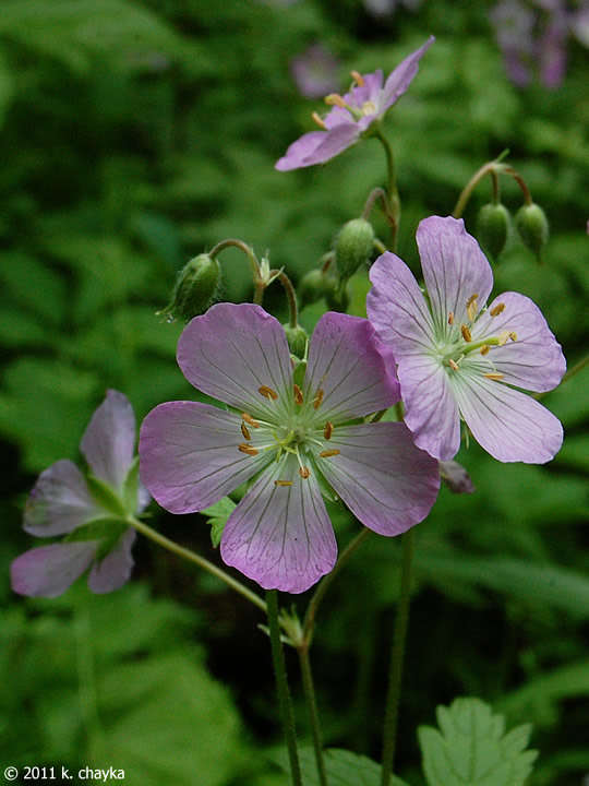Geranium maculatum (Wild Geranium): Minnesota Wildflowers