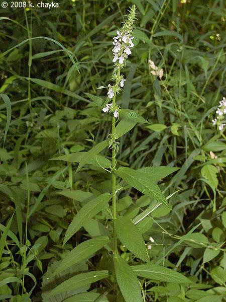 Stachys Hispida Hairy Hedge Nettle Minnesota Wildflowers