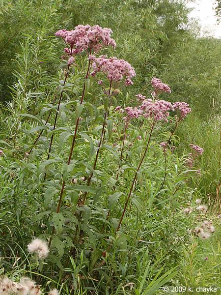 Eutrochium Maculatum Spotted Joe Pye Weed Minnesota Wildflowers