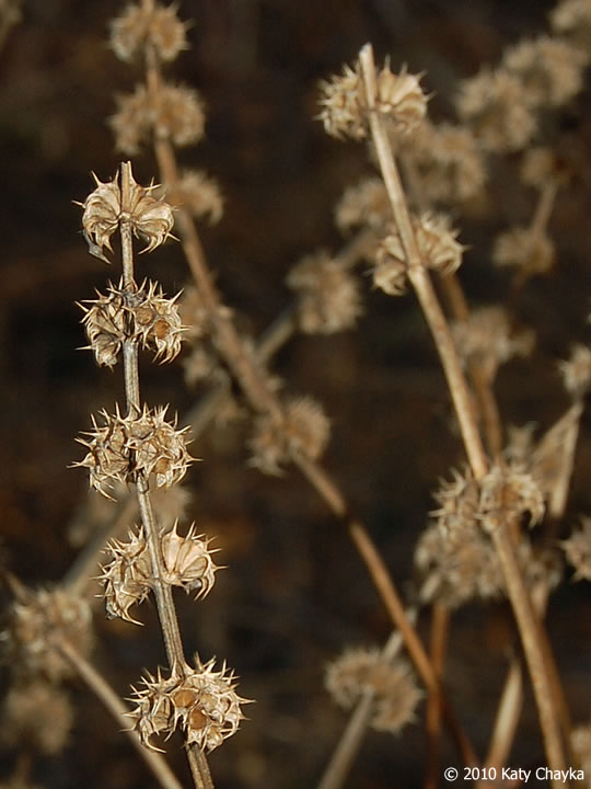 Leonurus Cardiaca  Motherwort   Minnesota Wildflowers