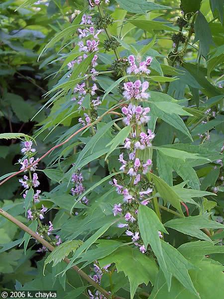 Leonurus cardiaca (Motherwort): pink Minnesota wildflowers