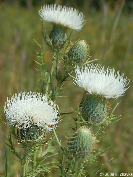 Cirsium discolor field thistle minnesota wildflowers field thistle with white flowers mightylinksfo