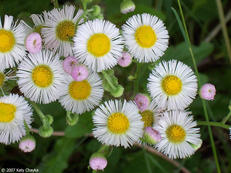erigeron philadelphicus philadelphia fleabane minnesota wildflowers, Beautiful flower