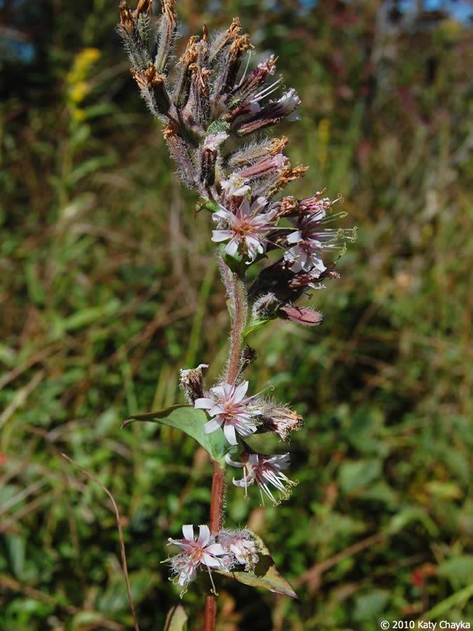 Prenanthes racemosa (Glaucous White Lettuce): Minnesota ...  Prenanthes race...