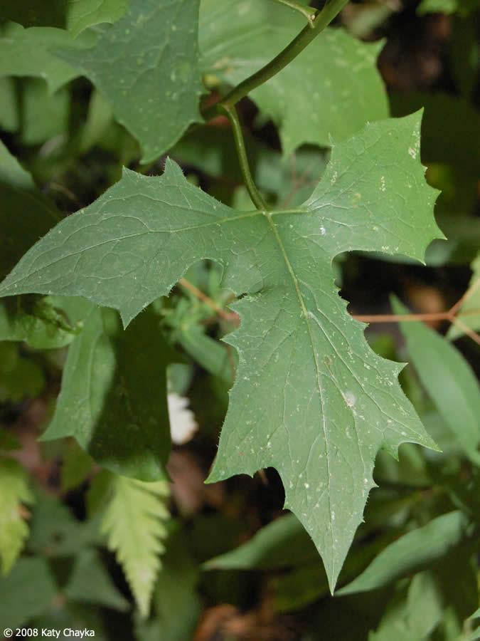 Variation In Plants Prenanthes alba (White...