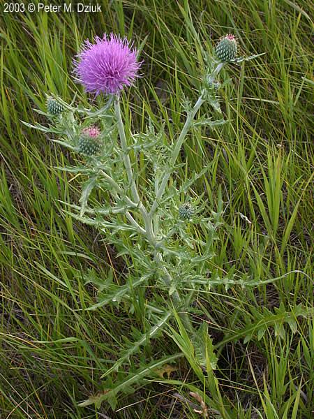 Cirsium Flodmanii Flodman S Thistle Minnesota Wildflowers