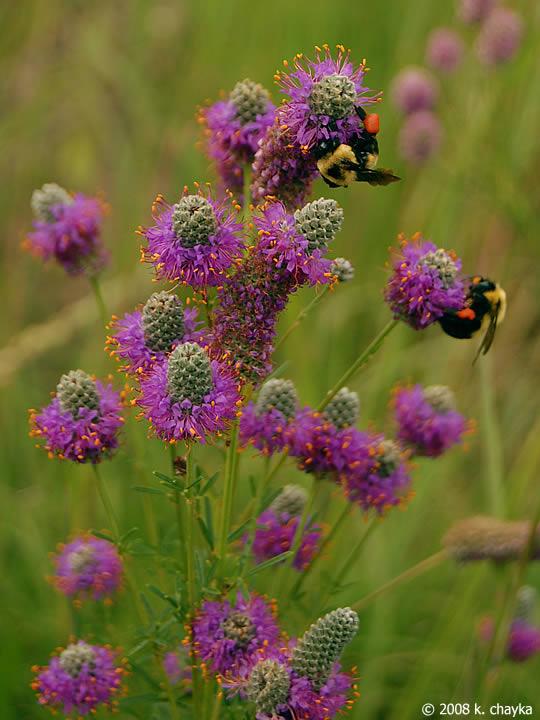 Dalea Purpurea Purple Prairie Clover Minnesota Wildflowers