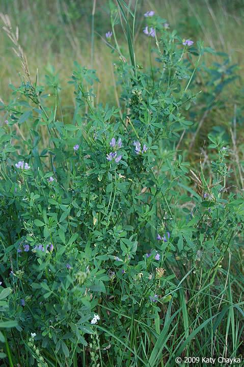 medicago sativa  alfalfa   minnesota wildflowers