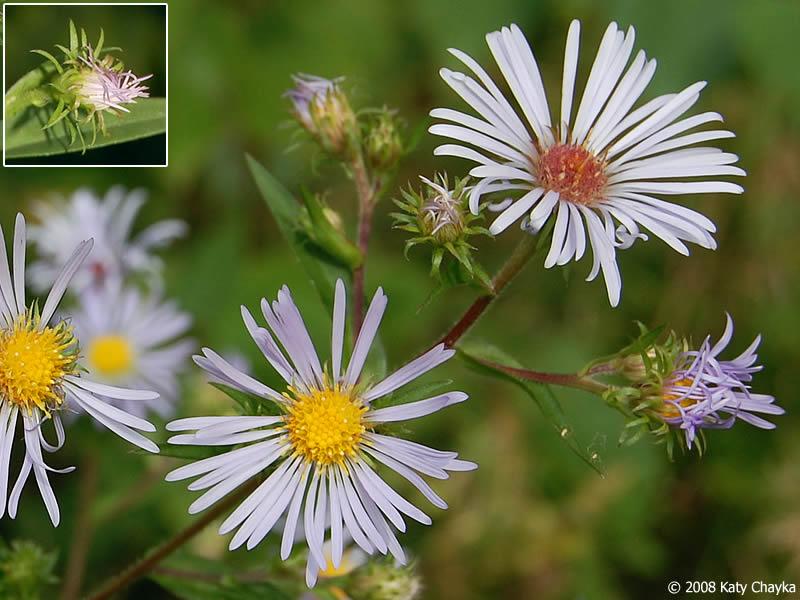 Symphyotrichum puniceum purple stemmed aster minnesota wildflowers photo of flowers mightylinksfo