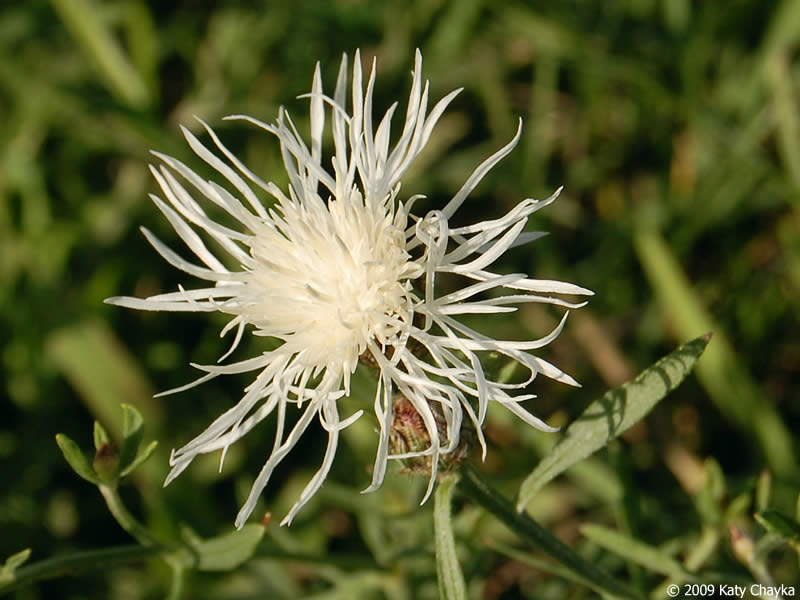centaurea stoebe  spotted knapweed   minnesota wildflowers