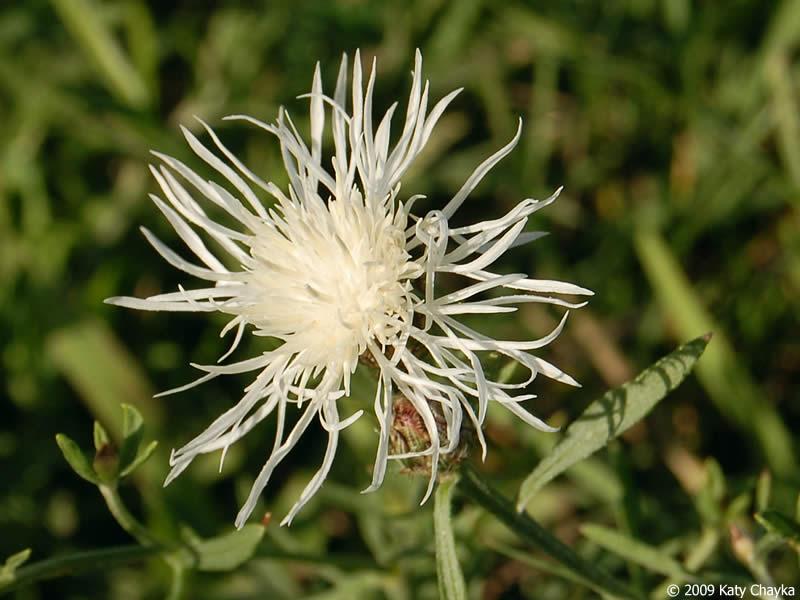 Centaurea Stoebe Spotted Knapweed Minnesota Wildflowers