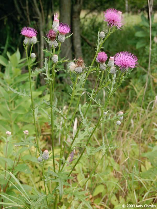 Cirsium Muticum Swamp Thistle Minnesota Wildflowers
