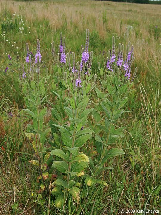 Verbena Stricta Hoary Vervain Minnesota Wildflowers