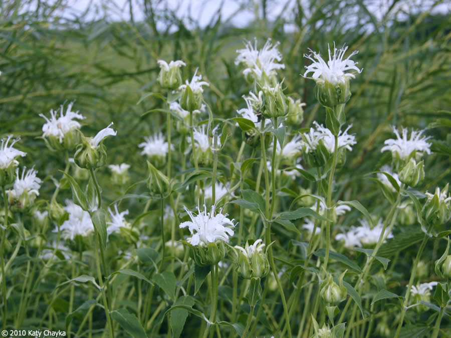 Monarda fistulosa wild bergamot minnesota wildflowers pink flowers rare white flowers mightylinksfo