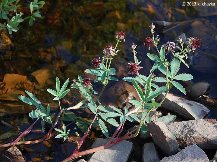 Potentilla Palustris Marsh Cinquefoil Minnesota Wildflowers