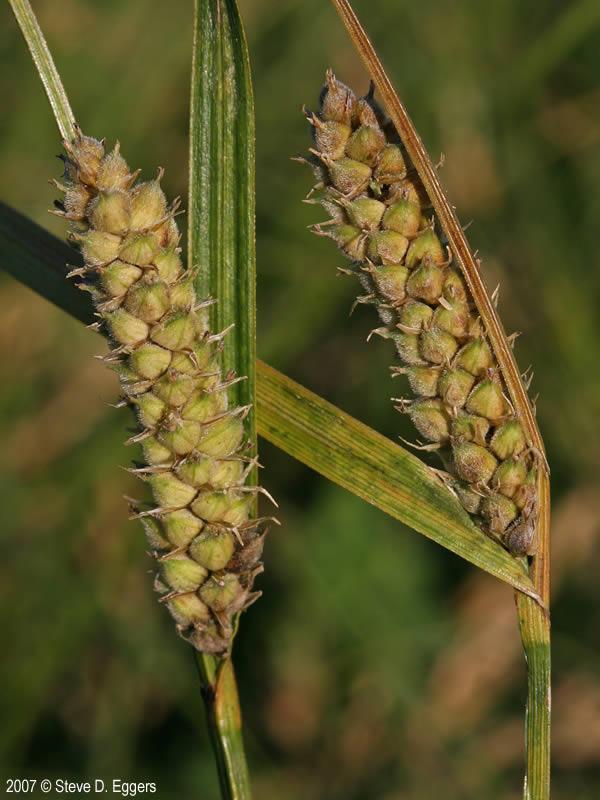 Carex pellita (Woolly Sedge): Minnesota Wildflowers