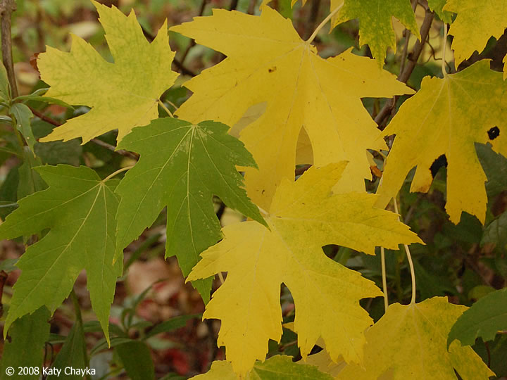 Acer Saccharinum (Silver Maple): Minnesota Wildflowers