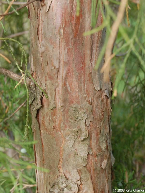 juniperus virginiana eastern red cedar minnesota