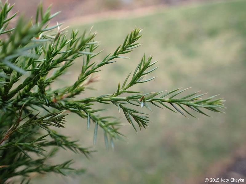 1 16 Inch >> Juniperus virginiana (Eastern Red Cedar): Minnesota Wildflowers