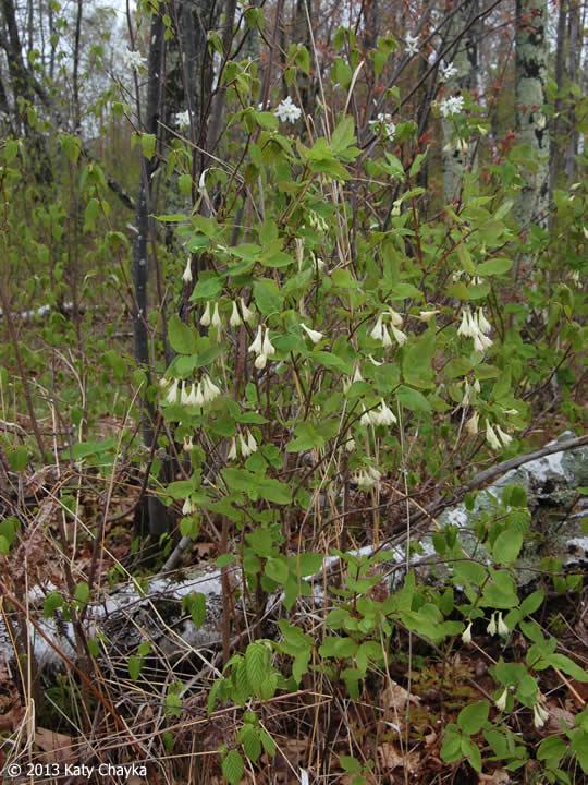 Lonicera Canadensis Fly Honeysuckle Minnesota Wildflowers