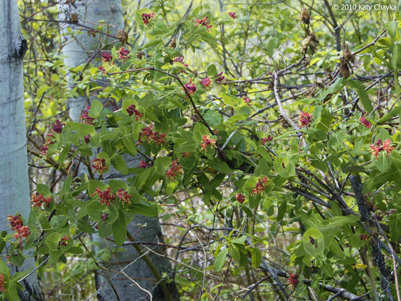 Lonicera Dioica Wild Honeysuckle Minnesota Wildflowers