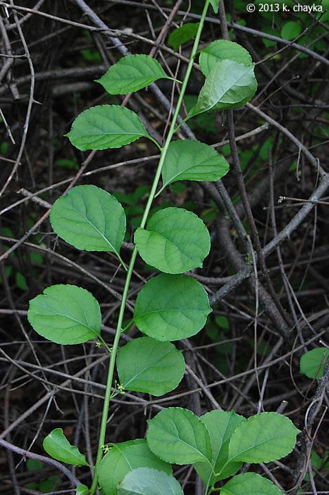 Celastrus Orbiculatus Oriental Bittersweet Minnesota