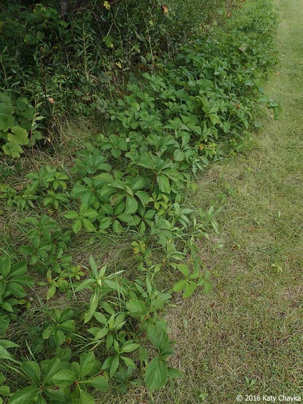 Parthenocissus Inserta Woodbine Minnesota Wildflowers
