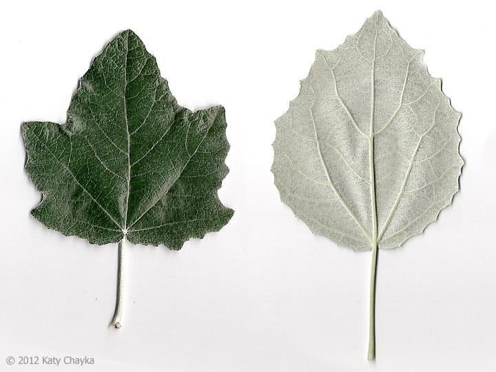 White Poplar Tree Leaf Populus alba (White Po...