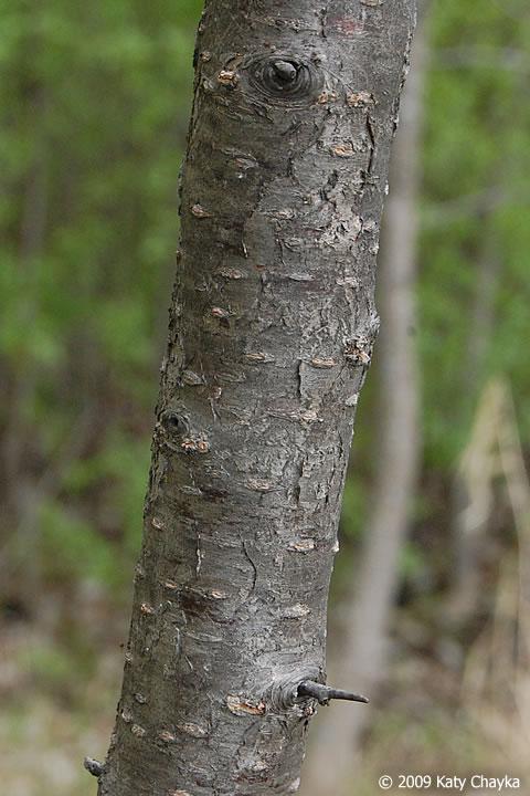 Prunus Americana Wild Plum Minnesota Wildflowers