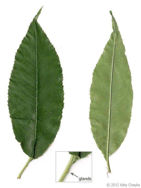 Prunus serotina (Black...