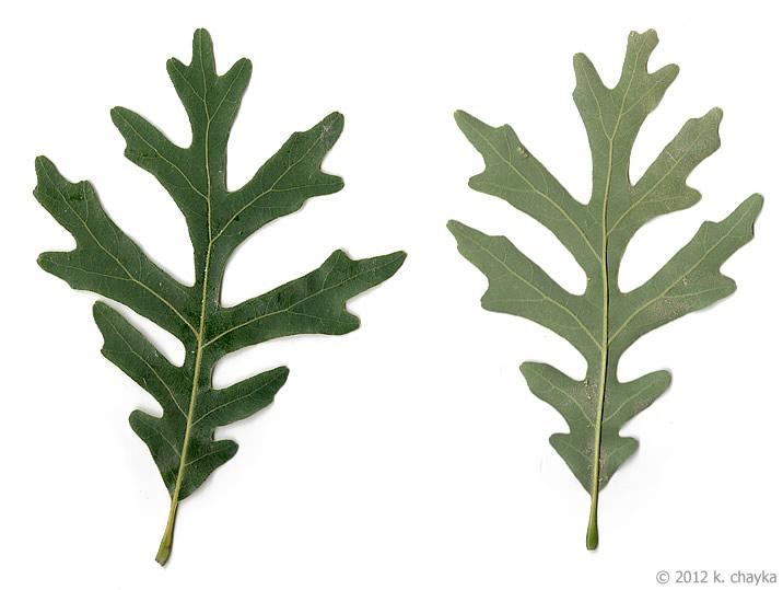 White Oak Leaf ~ Quercus alba white oak minnesota wildflowers