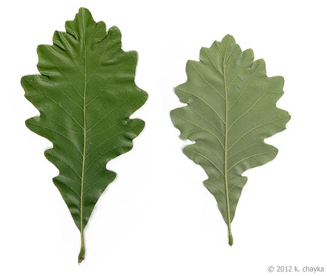 White Oak Leaf ~ Quercus bicolor swamp white oak minnesota wildflowers