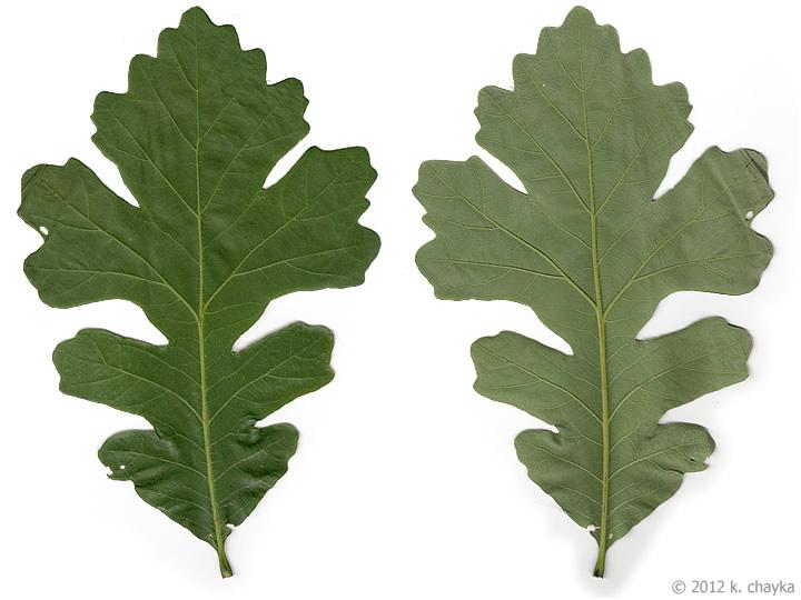 Quercus Macrocarpa Bur Oak Minnesota Wildflowers