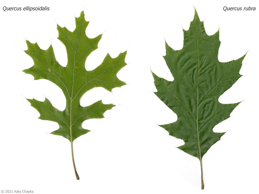 Compare Red Oak And Pin Leaves