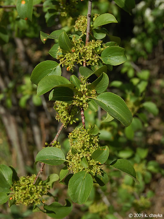 Rhamnus Cathartica Common Buckthorn Minnesota Wildflowers
