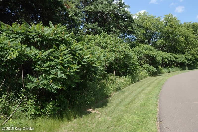Rhus Typhina Staghorn Sumac Minnesota Wildflowers