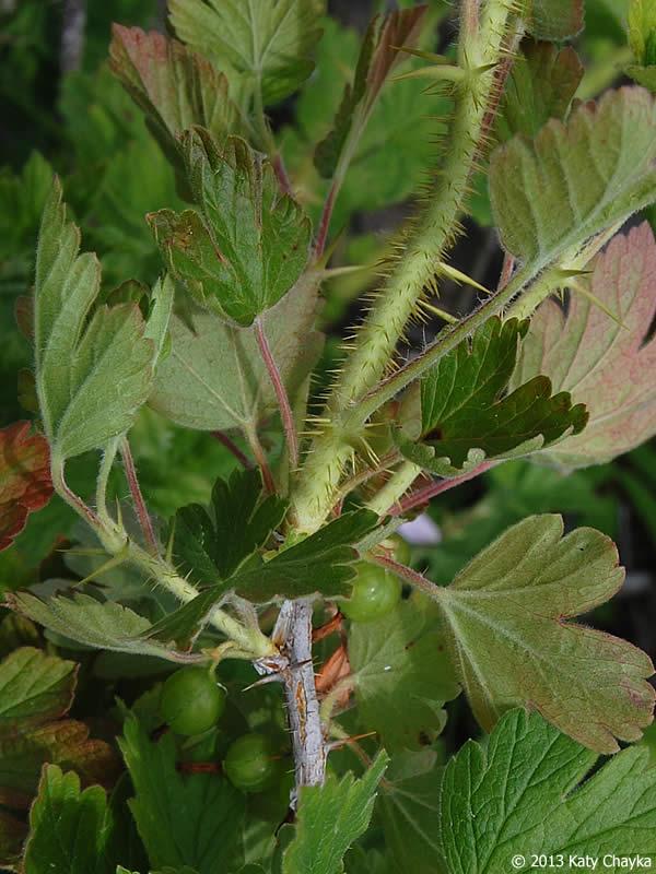 Ribes Oxyacanthoides Northern Gooseberry Minnesota