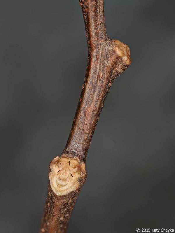 Black locust - twig & buds - March 2019 - YouTube