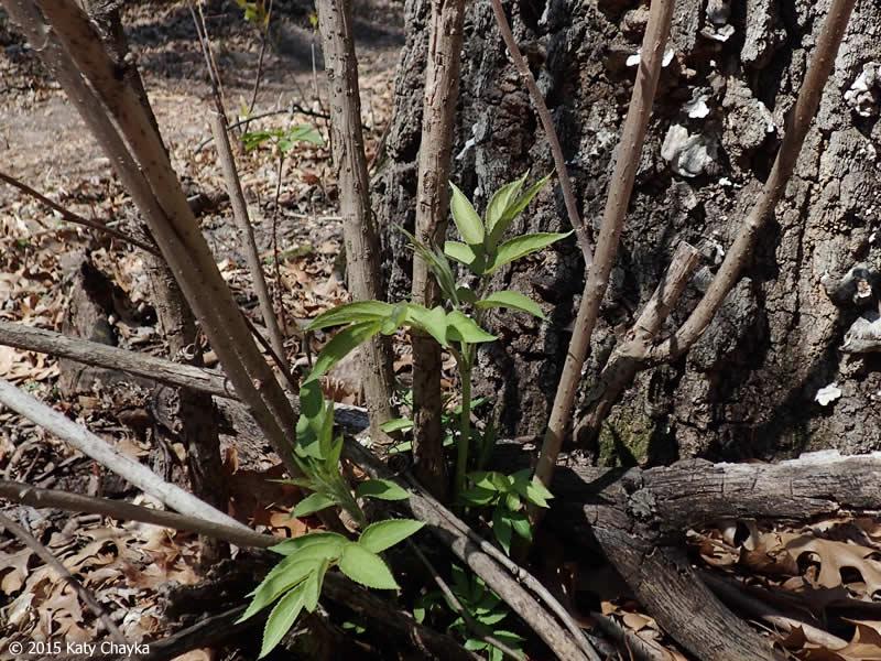 Sambucus Racemosa Red Berried Elder Minnesota Wildflowers