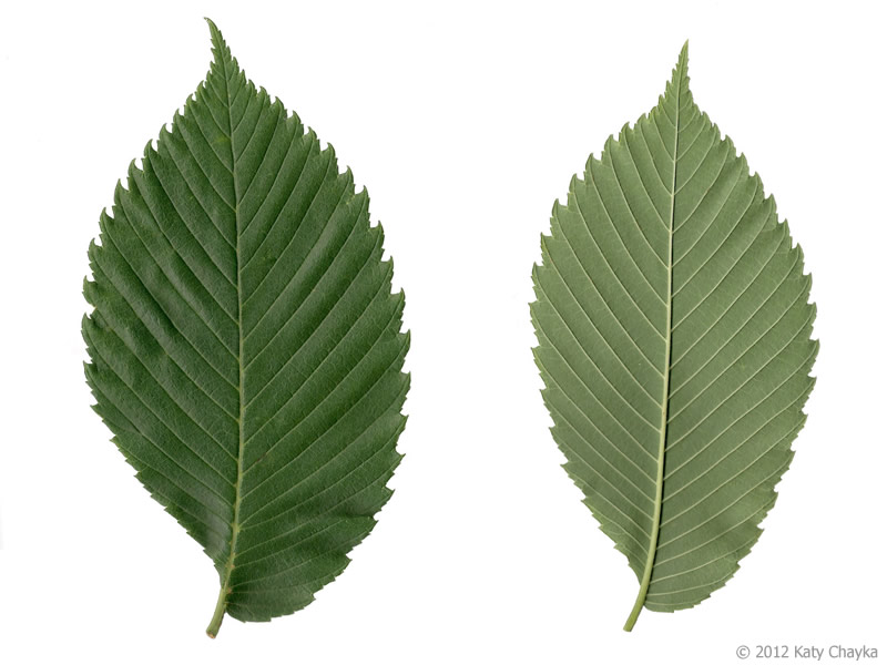 Ulmus americana american elm minnesota wildflowers for American elm