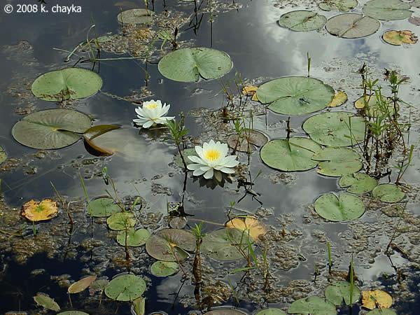 Nymphaea Odorata American White Water Lily Minnesota