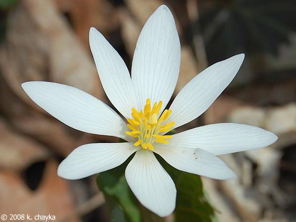 Sanguinaria canadensis bloodroot minnesota wildflowers photo of flower mightylinksfo