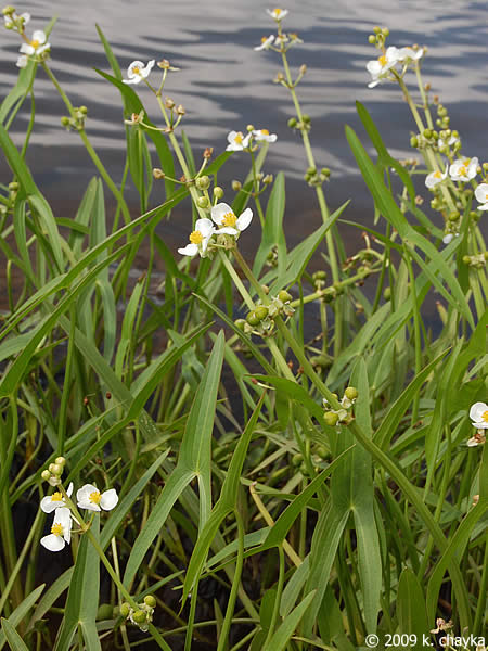 Sagittaria latifolia broad leaf arrowhead minnesota for Broadleaf